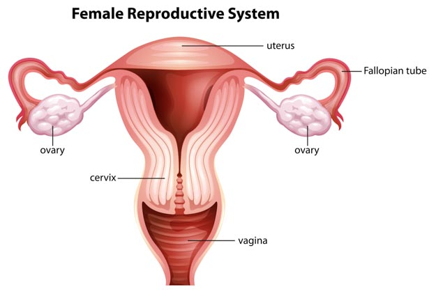 Fallopian tubes and the reproductive system.