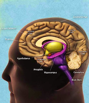 Depicted is the human brain and hippocampus.