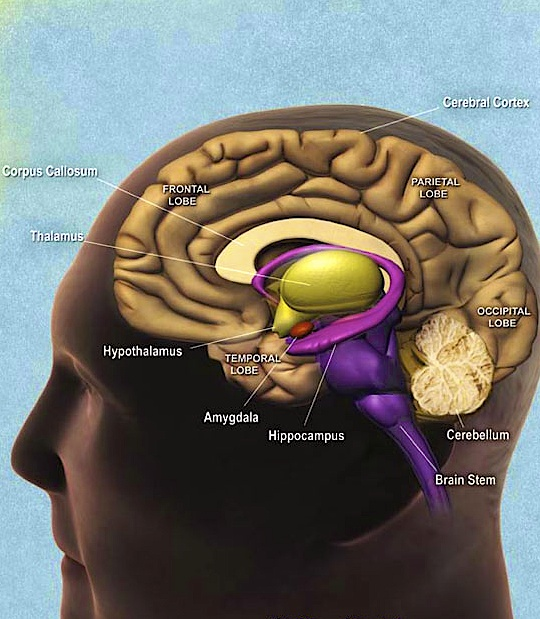 The hippocampus is shown here.